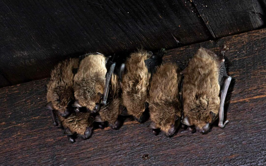 Why You Should Consider Professional Bat Removal