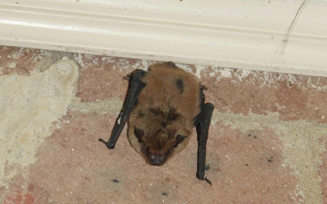 How To Keep Bats From Roosting Under Your Covered Areas