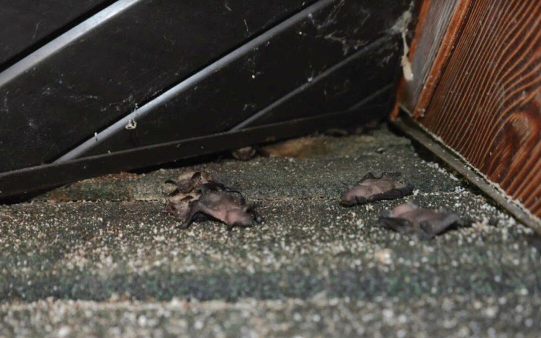 When is the Bat Breeding Season?